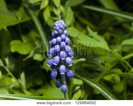 Grape hyacinth Muscari armeniacum spring flower with bokeh background close-up selective focus shallow DOF