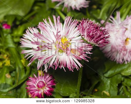 Sunny bellis daysi flower close-up selective focus shallow DOF