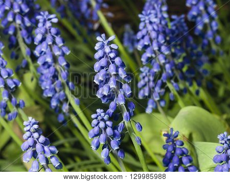 Grape hyacinth Muscari armeniacum spring flower with bokeh background close-up selective focus shallow DOF