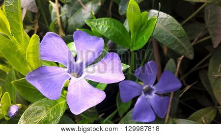 Bright blue periwinkle surrounded by green leaves