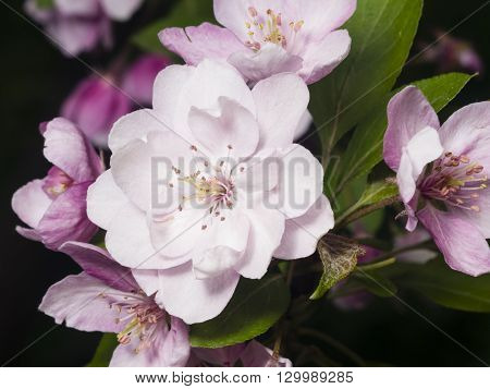 Blossom of apple tree with pink flowers on bokeh background macro selective focus shallow DOF