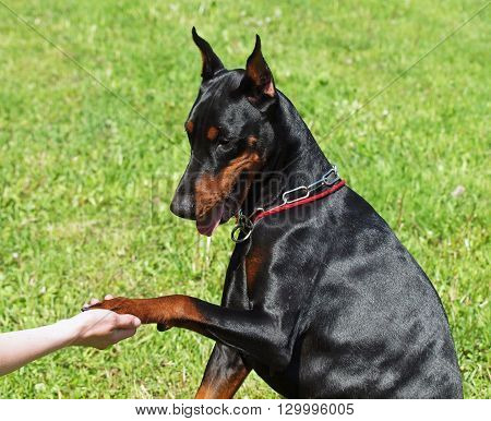 Hand and paw of Dobermann on green background
