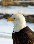 bald eagle sitting in the snow on a beach in alaska poster
