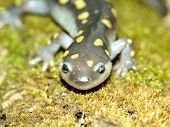 Spotted Salamander (Ambystoma maculatum) at Kickapoo State Park in Illinois. poster