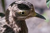 Close up profile portrait of a Cape Thick Knee with missing feathers around the eye. poster