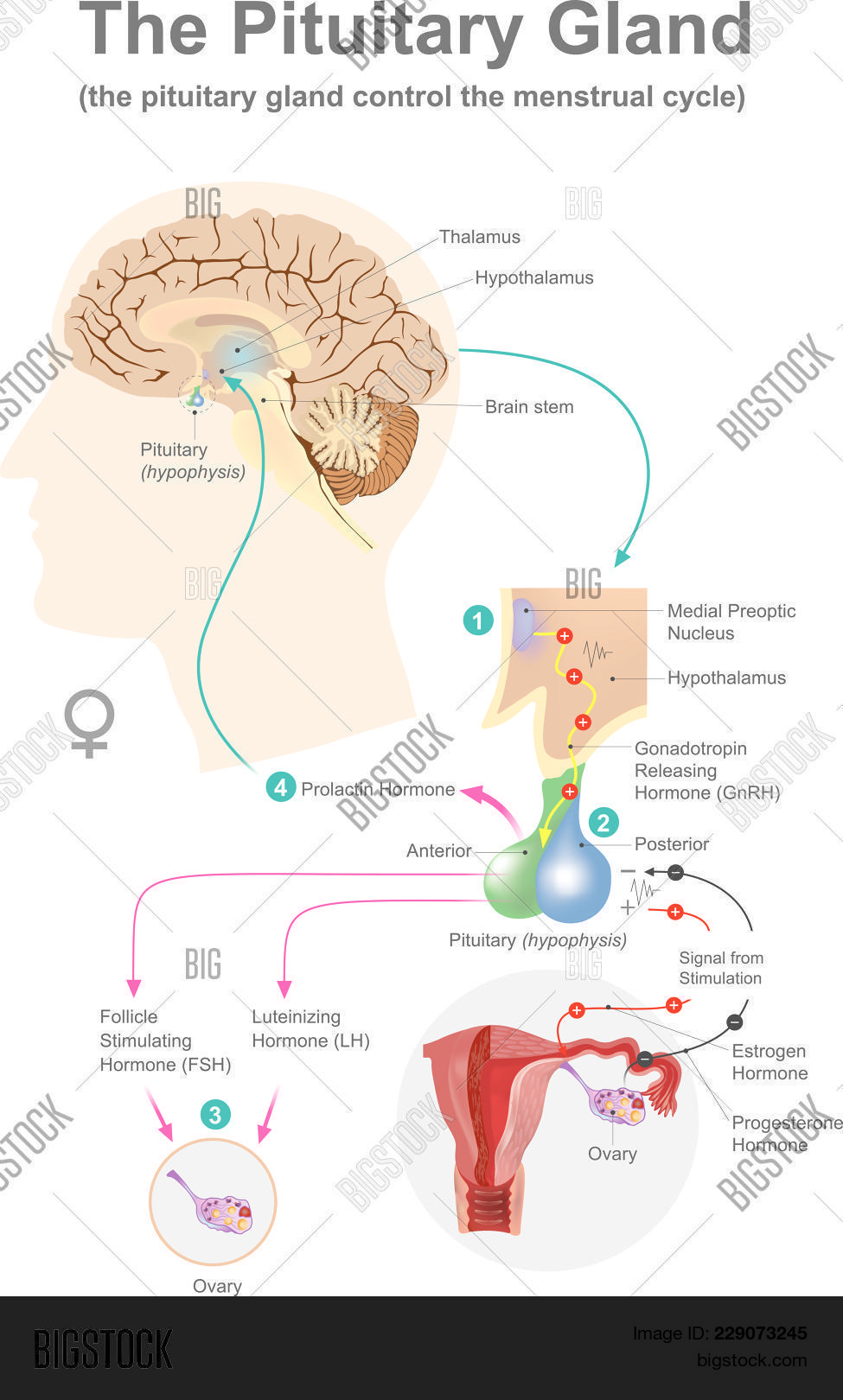 Pituitary Gland. Vector & Photo (Free Trial) | Bigstock