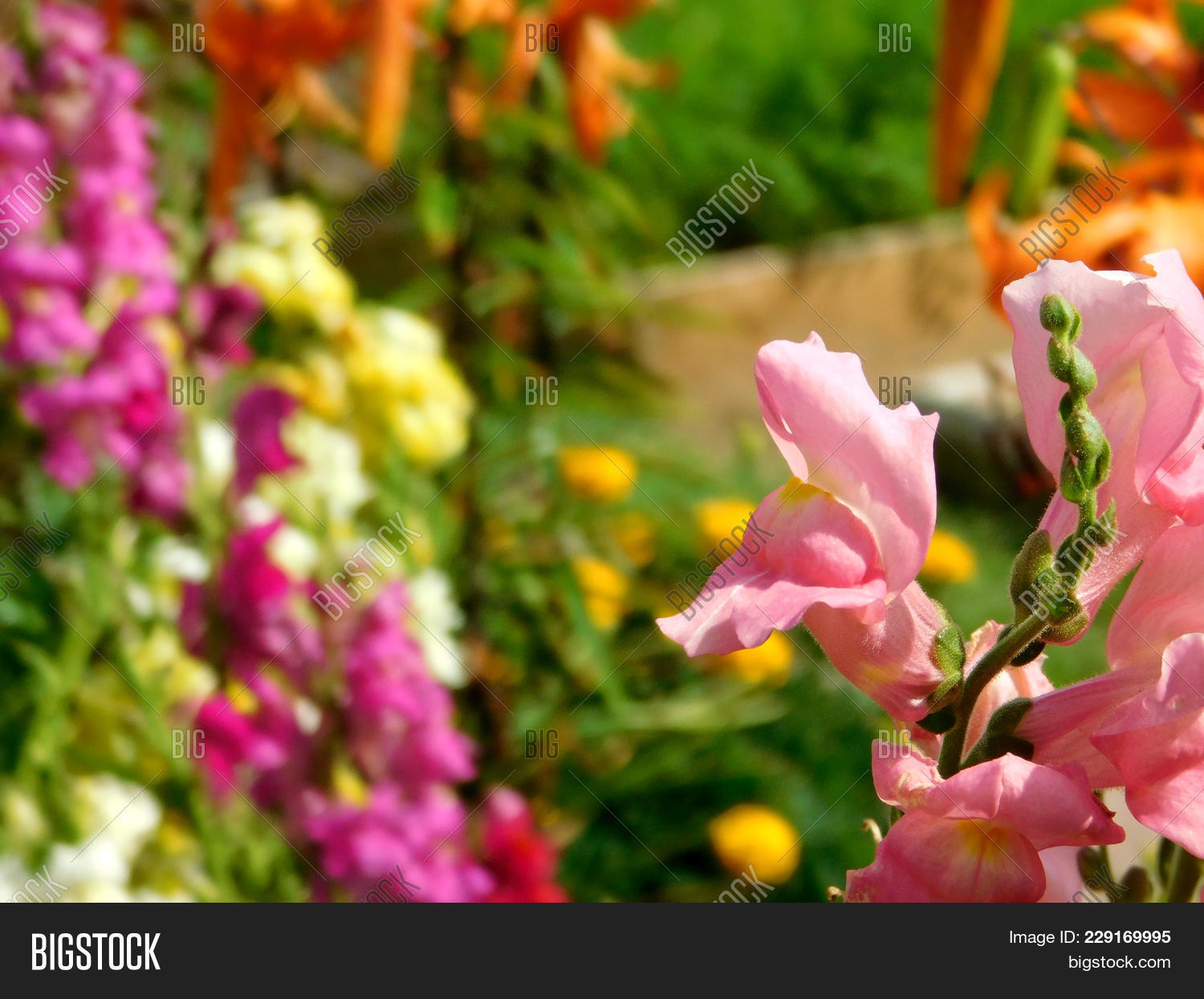 Pink Snapdragon Many Image Photo Free Trial Bigstock