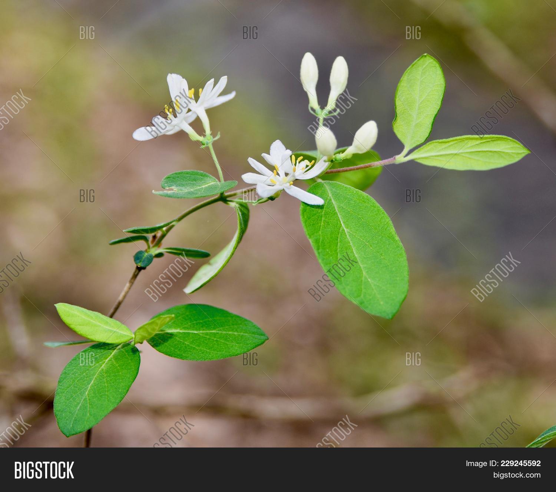 Bright white flowers image photo free trial bigstock bright white flowers and green leaves of japanese honeysuckle vine mightylinksfo