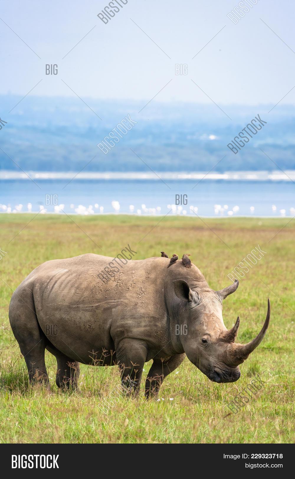 Portrait White Rhino Image & Photo (Free Trial) | Bigstock