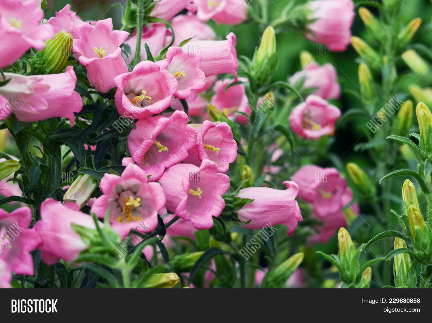 Pink Flowers Bell Dot Image Photo Free Trial Bigstock