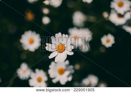 Daisies Vintage Background. Closeup Of Daisy Flower In Vintage Style. Somber Daisy Flowers. Vintage