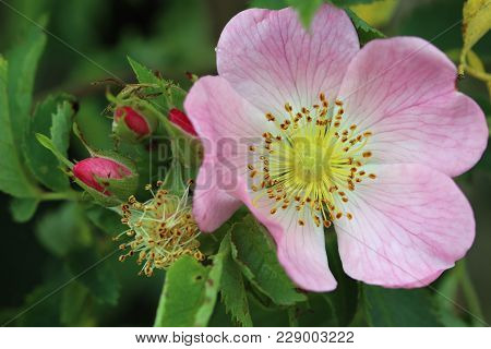 Detail Of The Bloom Of Wild Rose Shrub