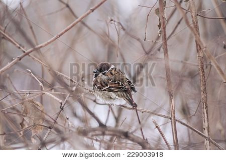 Sparrow Sits On A Branch In The Winter Forest