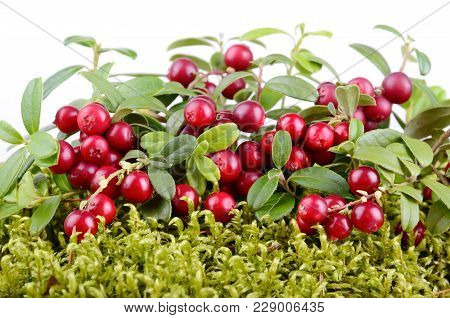 Red Ripe Cowberry Growing In Moss On White Background