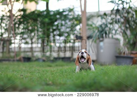 Cure Tricolor Beagle Is Sitting In The Garden Which Has Beautiful Green Grass Under Sunrise In The M