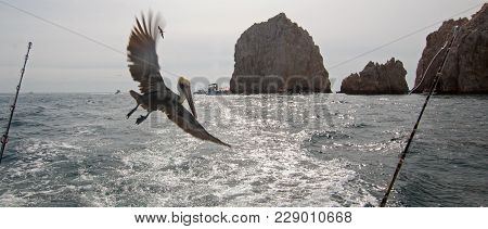 Pelican Flying Behind Charter Fishing Boat At Lands End In Cabo San Lucas In Baja California Mexico