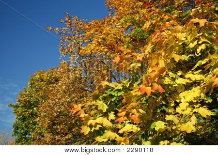 Yellow Leaves Of Autumn Trees Under The Blue Sky