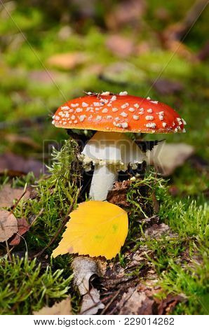 Red Fly Ageric Mushroom Also Known As Amanita Muscaria Or Fly Amanita In Autumn Forest