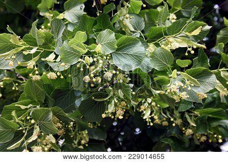 Linden Blooms In Spring, Blooming Linden, Flowers Of Linden Honey
