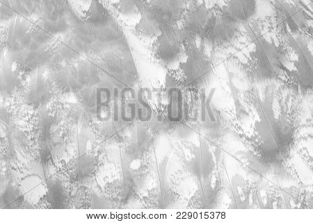 Owl Feather, Closeup Photo Of Bird Feather Present A Detail Of Texture And Pattern Of Bird Feather A