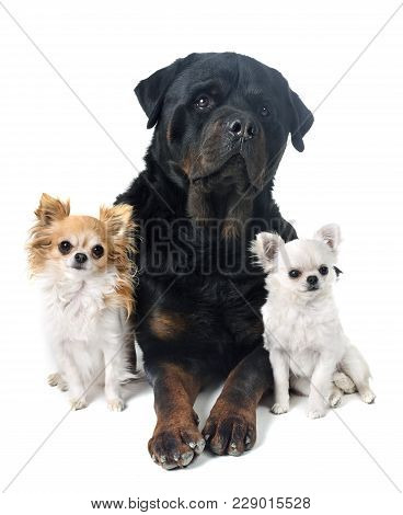 Rottweiler And Chihuahua In Front Of White Background