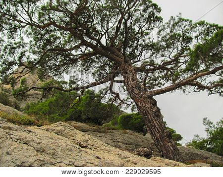 Pine Growing On A Stone Hillside, View From The Lower Point Up, Crimea