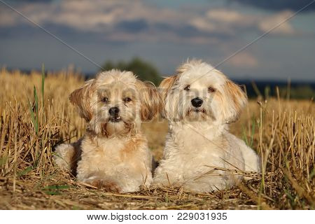 Two Small Dogs Are Lying In A Stubble Field