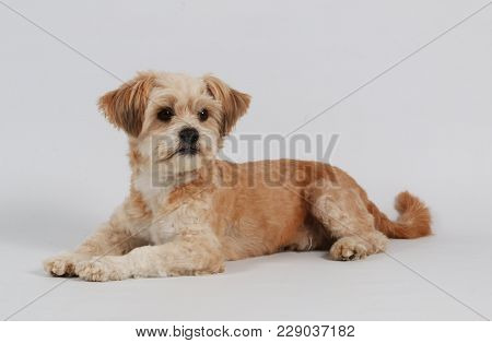 Small Mixed Brown Dog Is Lying In The Studio