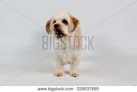 Small Havanese Is Standing In The Studio And Catching Food