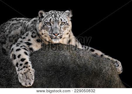 Snow Leopard Xxii