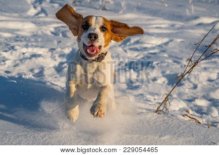 The Beagle Runs In The Snow. Puppy In Nature. Hunting Dog Running Through The Woods. Thoroughbred Pu