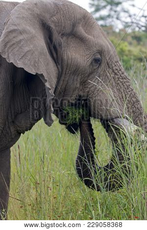 Elephant Eating  In Lush Green Bush And Grassland