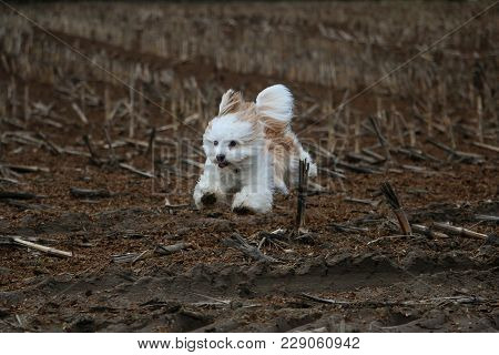 Small Havanese Is Running On A Stubble Field