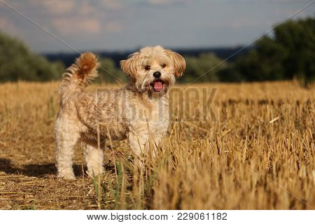 Small Brown Dog Is Standing In The Stubble Field