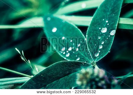 Drops On The Leaves. Water On The Leaves Of Clover.  Round Drops On The Shamrock.