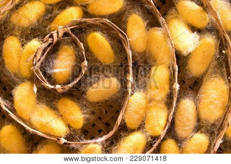 Closed Up Of Group Yellow Cocoon Of Silk Worm In Weave Nest Background