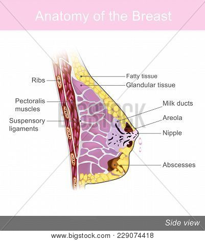 The Breast Is One Of Two Prominences Found On The Upper Ventral Region Of The Torso Of Female And Ma