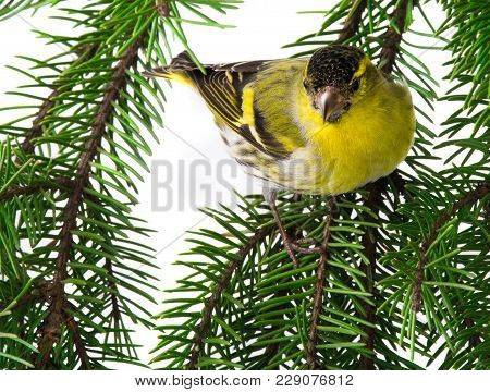 Siskin Male Isolated On A White Background, Studio Shot