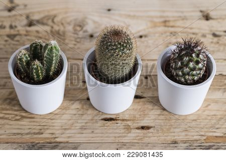 Cactus Plant Trio In White Pots In A Row