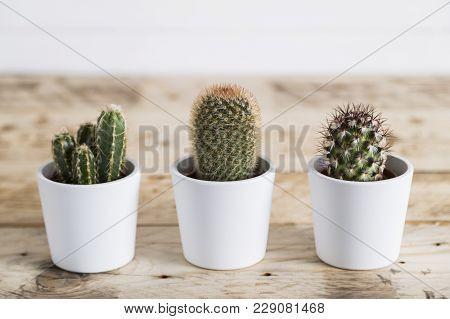Cactus Trio In White Pots In A Row