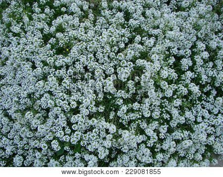 Petite Snow White Mauve Flowers Of Lobularia Maritima Alyssum Maritimum, Sweet Alyssum Or Sweet Alis