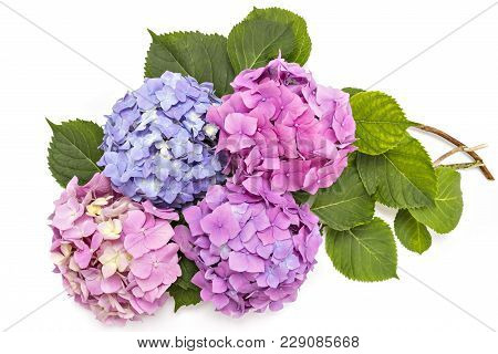 Beautiful Pink, Purple And Red Hydrangea Flowerheads, Hydrangea Macrophylla, Isolated On White Backg