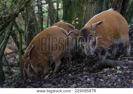 Photo Of A Group Of Red River Hogs Feeding In The Woods