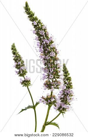 Fresh Young Spearmint Flowers Isolated On White Background. Mentha Spicata, Healthy Aroma