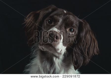 Liver And White Brittany Looking Into Camera With Head Tilted