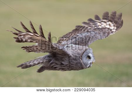 Owl Flying. Great Grey Owl (strix Nebulosa) In Level Flight. Beautiful Bird Of Prey Hunting. Side Vi
