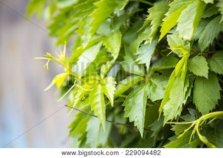 Wild Grapes Green Hanging From The Wall
