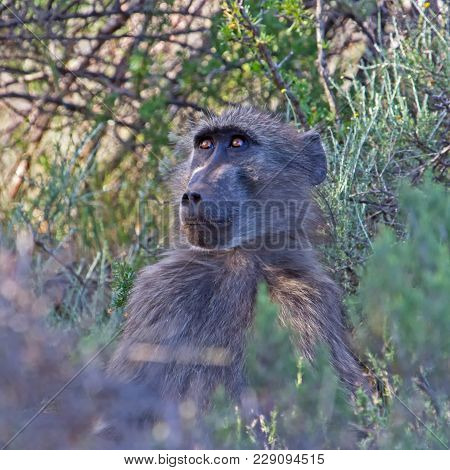 Young Baboon Hidden In Bushes Peering Intently Into Distance