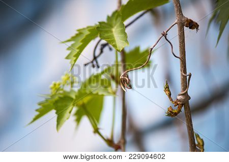 Wild Grapes. Branches Of Wild Grapes On A Background Of Blue Brick Wall