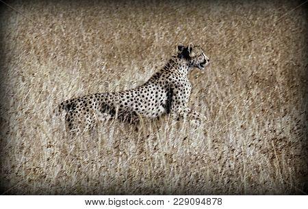 A Cheetah In The Wild Sabana In Tanzania